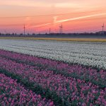 Tulipfield in the early morning