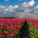 Tulip fields & faded roses